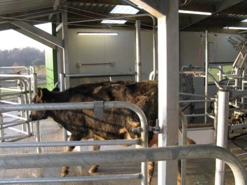 cow exit